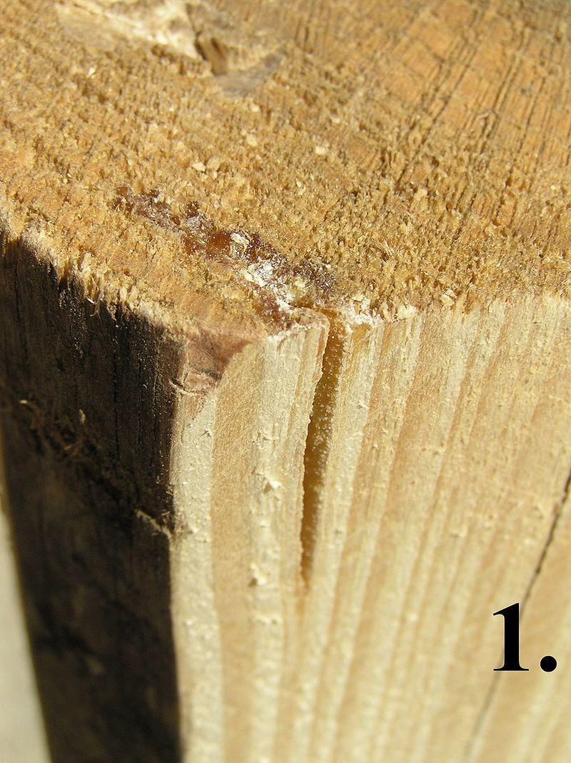 pęcherz żywiczny w drewnie